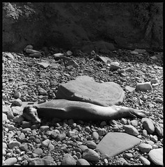 Dead Seal (Squid Files) Tags: tmax tmax400 kodak hasselblad 500 cm san diego california