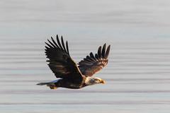 Bald Eagles, Qualicum Beach-1026