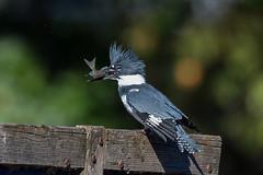 DSC_7208 kingfisher (eyegoo) Tags: beltedkingfisher kingfisher