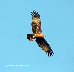 IMG_2468 Brahminy Kite-Juvenile (Haliastur indus) (vlupadya) Tags: greatnature animal bird aves fauna indianbirds brahminy kite juvenilehaliastur kundapura karnataka