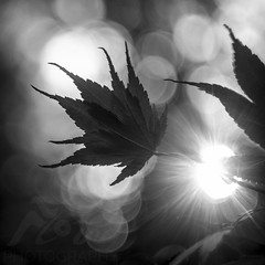 Autumn Light (Fourteenfoottiger) Tags: autumn monochrome mono blackandwhite bokeh starburst bubbles maple leaf leaves plants trees contrast silhouettes nature fall jagged flare
