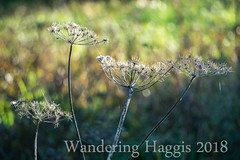 Dead Flower Heads (wanderinghaggis) Tags: flower autumm life sony a6000 plant dead old nature experement depth field scene apature rotting outdoor image photography day lens light exposure visual natural wild setting