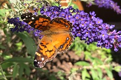 American Lady butterfly (davekrovetz) Tags: iphone nature flowers gardens insects butterfly