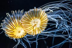 Two Japanese Nettle Jellyfish (SCSQ4) Tags: aquariumofthepacific japanesenettlejellyfishes longbeach photographersnight