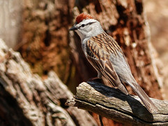 Day 2, Chipping Sparrow, Rondeau PP (annkelliott) Tags: ontario canada ptpeleetadoussacholiday day2 rondeauprovincialpark visitorscentre nature wildlife ornithology avian bird songbird chippingsparrow spizellapasserina male backsideview perched branch bokeh outdoor spring 8may2018 fz200 fz2004 annkelliott anneelliott ©anneelliott2018 ©allrightsreserved