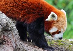 Red Panda #2 (PJ Swan) Tags: animal lake district wildlife park zoo red panda cute furry ailurus fulgens