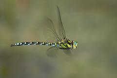 Blaugrüne Mosaikjungfer (Aeshna cyanea) 6709 (fotoflick65) Tags: fotoflick65 libelle d7100 tamronsp150600mmf563divcusdg2 ta150600 ds flash godoxtt685n tamronspaf150600mmf563divcusd insect insekt dragonfly odonata y2018 ym07 groslibelle fd4m2 fd2b5 32 fl460 fl450600 st640 st400800 f8 iso720 iso400800 bof fliegend blaugrüne mosaikjungfer aeshna cyanea southernhawker leopold kepplinger fliegende imflug inflight bug blau grün nikonnaturephotography fexp tamron 150 600 g2 a022