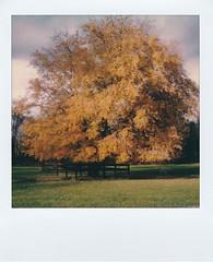 (ltpaperhouse) Tags: polaroidoriginals fall polaroidweek instantfilm slr670s mint sx70film