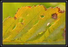 """Edge Fall..."" (NikonShutterBug1) Tags: nikond7100 tokina100mm nature wildlife bokeh spe smartphotoeditor closeup macro leaf autumn fall flora brown foliage green"