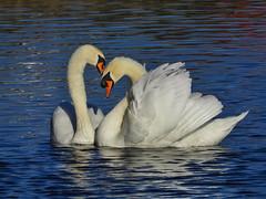 Mute Swans (warrencarl) Tags: bird birds ipad warrencarl warrencarls wcf apple app apps manipulation edited enhancement tonemapping pseudo nikon coolpix p1000