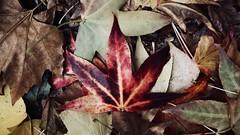 Herbstlaub - leaves in autumn (MLe Dortmund 100K+) Tags: laub leaves leaf herbst autumn nass blatt