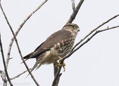 Merlin (rdroniuk) Tags: birds birdsofprey raptors oiseaux oiseauxdeproie rapaces merlin falcocolumbarius falcon falcons faucon fauconémerillon