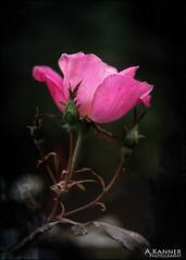 Perfect & Pink... (angelakanner) Tags: canon70d helios442 rose pink closeup texturelayer garden longisland