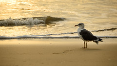 Wave ... (Raquel Borrrero) Tags: gold golden seagull natura naturephotography beach shore sea wave mar arena sand playa océano ola