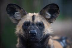 Heyena, Artis zoo. (Robin Valk) Tags: zoo artis dierentuin wild animal dog hond