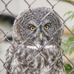 Trapped in a Lonely World (jbarc in BC) Tags: owl feather bird greatnortherngrayowl sanctuary cage wire prisoner trapped eyes beak strixnebulosa nikonz7 alone isolated