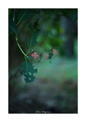 2018/10/6 - 14/15 photo by shin ikegami. - SONY ILCE‑7M2 / Lomography New Jupiter 3+ 1.5/50 L39/M (shin ikegami) Tags: マクロ macro 紫陽花 flower 花 井の頭公園 吉祥寺 autumn 秋 sony ilce7m2 sonyilce7m2 a7ii 50mm lomography lomoartlens newjupiter3 tokyo sonycamera photo photographer 単焦点 iso800 ndfilter light shadow 自然 nature 玉ボケ bokeh depthoffield naturephotography art photography japan earth asia