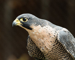 Peregrine (Gene Mordaunt) Tags: peregrine falcon bird wildlifenikon810 mountsbergraptorcentre