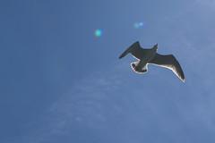 mouette2 (marcel.photo) Tags: möwe mouette vogel bird vevey schweiz switzerland genfers lac lémon