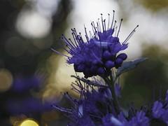 Flower Garden Bokeh - Tarbek - Schleswig-Holstein - Germany (torstenbehrens) Tags: flower garden bokeh tarbek schleswigholstein germany