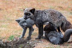 Foxes (jeff's pixels) Tags: red kit foxes animal fox mammal baby cute nikon d850 washington sanjuanisland