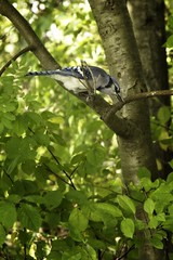 Blue Jay (steve.schlick) Tags: bluejay 52in2018 outdoor lyndeshores cloca whitby ontario bird leaves tree feathers beak eye branch wild