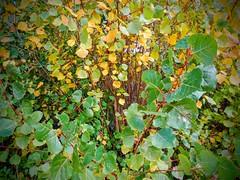 Chopo canadiense o híbrido (Populus x canadensis) (quintanAopio) Tags: árbol carerechas bureba burgos foráneo asilvestrado