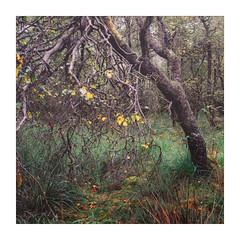 Lean (gerainte1) Tags: hasselblad501 velvia50 film colour yorkshire trees woodland autumn