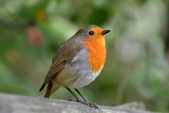 Robin (Chris_Jones.) Tags: animal nature bird robin orange d3200 nikon