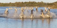 Ruée (Xtian du Gard) Tags: xtiandugard chevaux nature cavalcade chevauchée ruée camargue bouchesdurhône provence midi france etang eau 2x1 panorama reflet saintesmariesdelamer