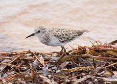 Least Sandpiper (Tony CC Gray) Tags: birds tonygray canon floridakeys curryhammockstatepark crawlkey leastsandpiper