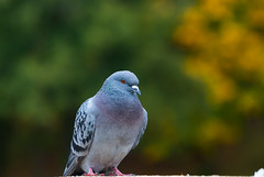 Pigeon against a Autumn back drop - Oct. 2018 (I.T.P.) Tags: bird pigeon autumn colours