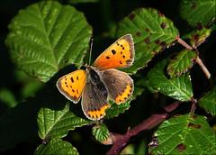 Small Copper (jo92photos) Tags: butterfly insect wings blackberrybush autumn lycaenaphlaeas smallcopper