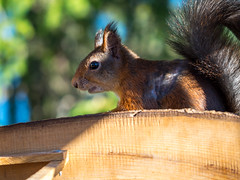 Red squirrel in the woods of Vestfold, Norway (Unni Henning (also Instagram @unnikarin59)) Tags: squirrel red forest trees esting seeds macro closeup rodent furry sun bluesky bokeh narrowdepthoffield vestfold norway treecabin