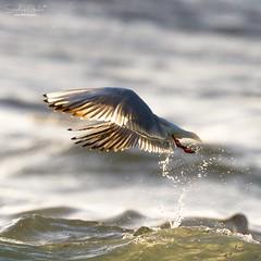 Révérence humide (stephanegachet) Tags: france bretagne breizh bzh morbihan fortbloqué ploemeur stephanegachet sea seabird bird seagull gul mouette rieuse oiseau nature animal wildlife