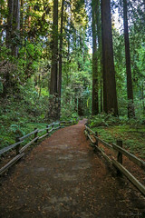 Muir Woods National Monument, Mill Valley 10.5.18 1 (Marcie Gonzalez) Tags: bay area california ca calif muir woods muirwoods bayarea wood forest forests central west coast usa us north america canon 5d mark iii landscape outdoor outdoors serene trees red redwoods nature natural morning national monument united states park parks service mount tamalpais pacific san francisco redwood mill valley marin county green deep dark tall