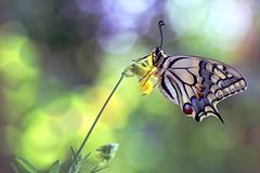 Summer memory (sylviafurrer) Tags: schwalbi swallowtail schwalbenschwanz schmetterling butterfly bokeh summer sommer