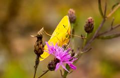 7K8A7567 (rpealit) Tags: scenery wildlife nature weldon brook management area orange sulphur butterfly