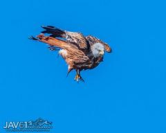 Red kite hunt training in full flight-2453 (George Vittman) Tags: bird raptor nikonpassion red orange mountains france auvergne wildlifephotography jav61photography jav61