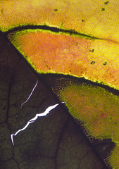 (amy20079) Tags: deteriorate cracks worn tear torn leaf veins macro fall autumn newengland maine abstract texture pattern organic nature dying spots lines closeup orange brown nikond5100 green