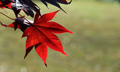 fall red foliage (scott1346) Tags: leaves bokeh fall colors red beauty bright dazzle points maple redmaple sunlit leaf frontyard neighbor 1001nights 1001nightsmagiccity autofocus canon 1001nightsmagicgarden thegalaxy scenicwalk contactsgroups greatphotographers