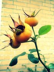 Rosebuds (Quetzalcoatl002) Tags: rosebuds pale latesummer closeup
