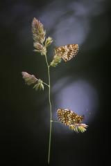 Duo (Thomas Vanderheyden) Tags: duo melitaeaathalia papillon butterfly nature natur insect insecte bokeh samyang fujifilm thomasvanderheyden colors couleur beautifulearth ngc
