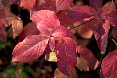 Dogwood Leaves (San Francisco Gal) Tags: dogwood cornusnuttallii pacificdogwood plant flora leaf bokeh sierranevada shastacounty autumn 2018