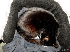 """Early Christmas present for """"Rescue"""" Sooty today. New furry bed, wouldn't touch it until I lined it with my old Polo neck.(Explored) (pete Thanks for 5 Million Views) Tags: earlychristmaspresentforrescuesootytodaynewfurrybed wouldnttouchituntililineditwithmyoldpoloneckcatblackwickedweasel"""