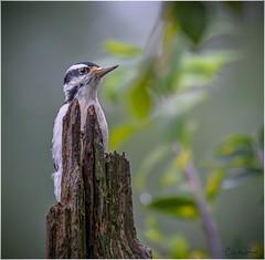 Hairy Woodpecker (Summerside90) Tags: birds birdwatcher woodpeckers hairywoodpecker september summer backyard garden nature wildlife ontario canada