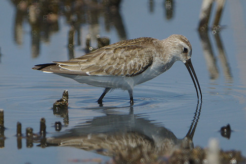 "Curlew sandpiper, Calidris ferruginea, at Marievale Nature Reserve, Gauteng, South Africa • <a style=""font-size:0.8em;"" href=""http://www.flickr.com/photos/93242958@N00/31140963858/"" target=""_blank"">View on Flickr</a>"