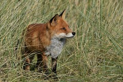 Fox (co lennings2011) Tags: fox vulpesvulpes vos