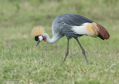 Grey Crowned Crane -Balearica regulorum (rosebudl1959) Tags: 2017 kenya masaimara zebraplains greycrownedcrane november