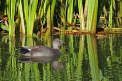 K32P7647c Gadwall, Lackford Lakes, September 2018 (bobchappell55) Tags: lackfordlakes suffolk bird wild nature wildlife water gadwall anasstrepera